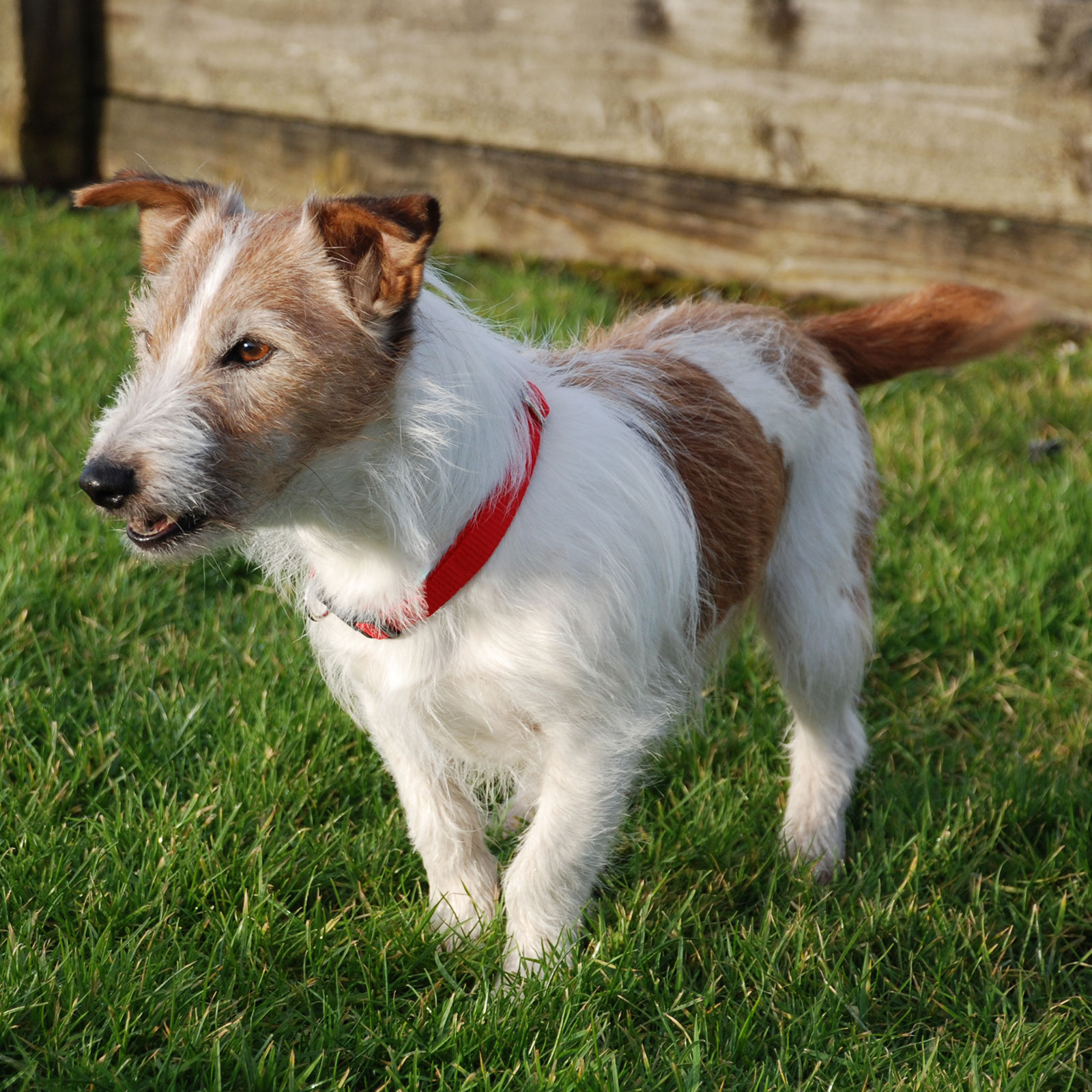 Red magnetic dog collar worn by Barney - Canine Magnetix
